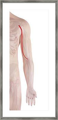 Human Arm Artery Framed Print
