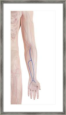 Human Arm Veins Framed Print by Sciepro