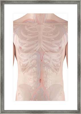 Human Arteries Framed Print