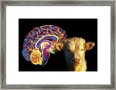 Human Brain And Beef Cow Framed Print