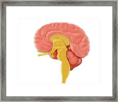 Human Brain Sagittal Mid-section Framed Print by Pixologicstudio/science Photo Library