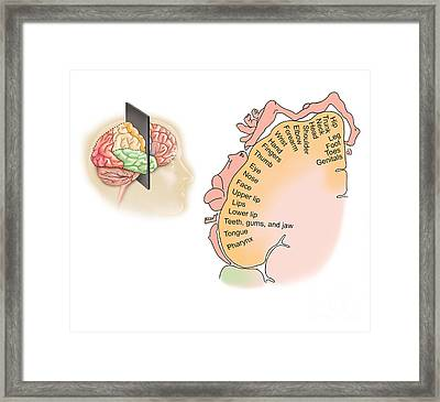 Human Brain Showing The Layout Framed Print by TriFocal Communications