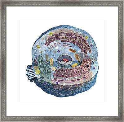 Human Cell Framed Print by Dorling Kindersley/uig