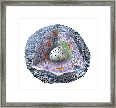 Human Cell Structure Showing Cytoplasm Framed Print by Dorling Kindersley/uig