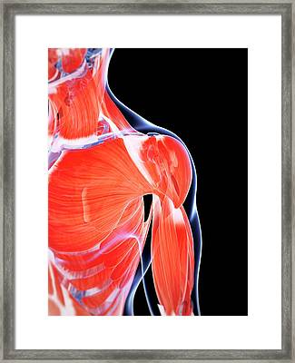 Human Chest And Shoulder Muscles Framed Print by Sebastian Kaulitzki