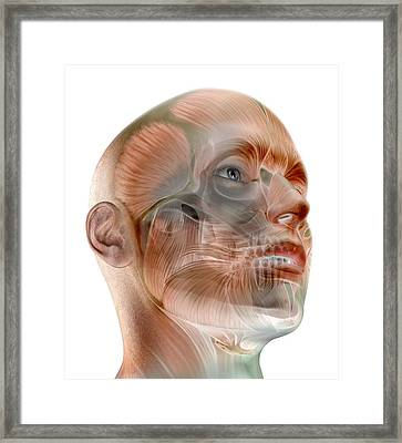 Human Facial Muscles, Artwork Framed Print by Science Photo Library
