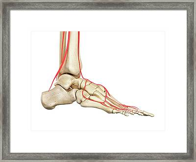 Human Foot Anatomy Framed Print