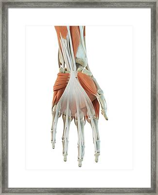 Human Hand Muscles Framed Print by Sciepro