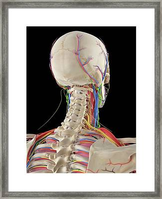 Human Head And Spine Framed Print