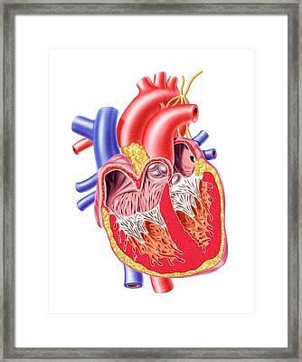 Human Heart, Artwork Framed Print by Leonello Calvetti