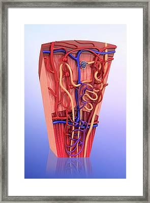 Human Kidney Nephron Framed Print