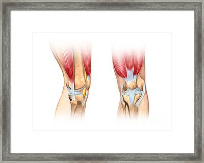 Human Knee Cutaway Illustration Framed Print by Leonello Calvetti