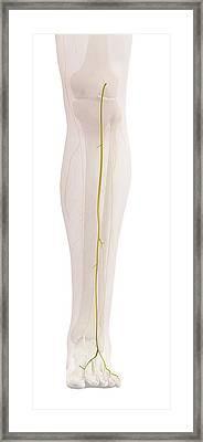 Human Leg Nerves Framed Print