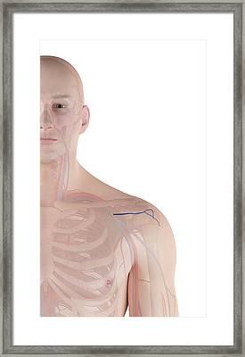 Human Shoulder Artery Framed Print