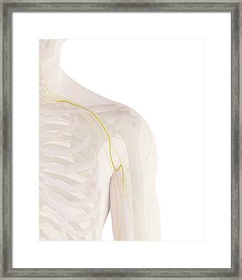 Human Shoulder Nerve Framed Print by Sciepro