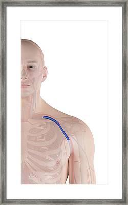 Human Shoulder Vein Framed Print by Sciepro
