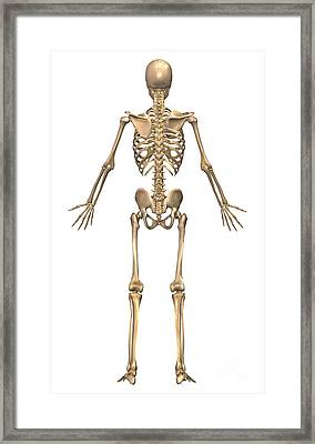 Human Skeletal System, Back View Framed Print by Stocktrek Images