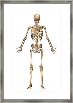 Human Skeletal System, Back View Framed Print by Stocktrek Images
