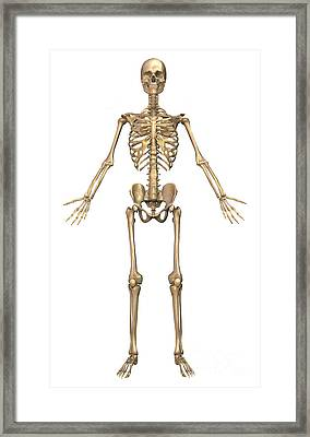 Human Skeletal System, Front View Framed Print by Stocktrek Images