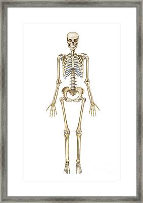 Human Skeletal System, Front View Framed Print by TriFocal Communications