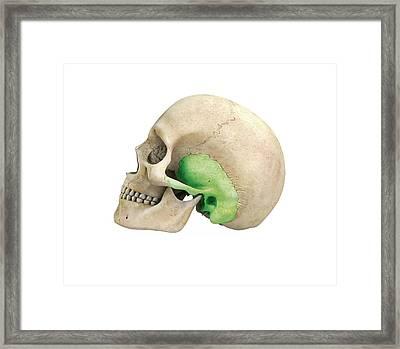 Human Skull And Temporal Bone Framed Print by Mikkel Juul Jensen