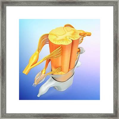 Human Spinal Chord Framed Print