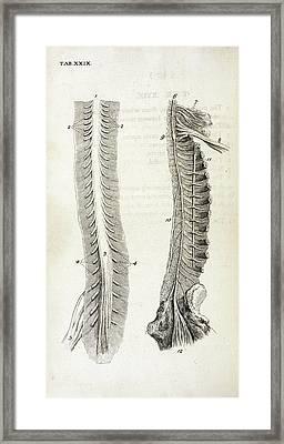 Human Spine And Nerves Framed Print
