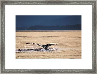 Humback Whale Tail Pybus Bay Admiralty Framed Print by Mark Kelley
