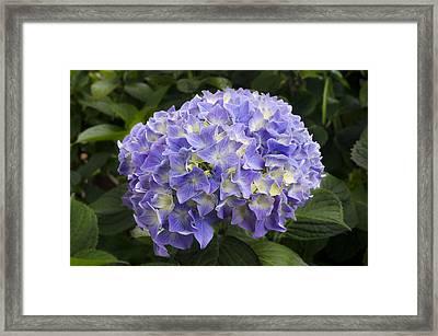 Humboldt Hydrangea Framed Print