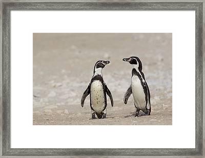 Humboldt Penguins Punta San Juan Peru Framed Print by Cyril Ruoso