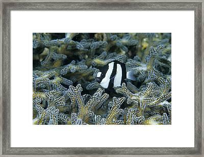 Humbug Framed Print