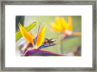 Hummer At Bird Of Paradise Framed Print