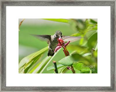 Framed Print featuring the photograph Hummer At The Rose by Debby Pueschel