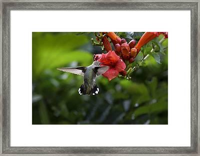 Hummer-bt-backheadinflowerbest Framed Print by Rae Ann  M Garrett