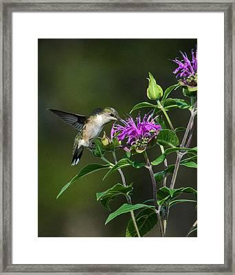 Hummer On Bee Balm Framed Print