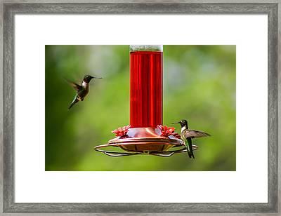 Humming Birds Framed Print