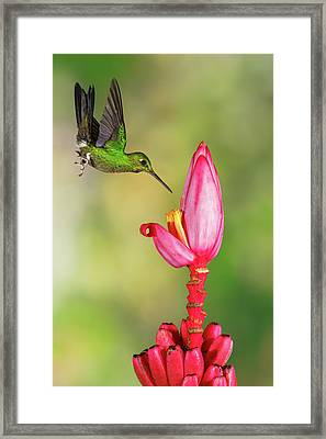 Hummingbird , Green-crowned Brilliant Framed Print by Kencanning