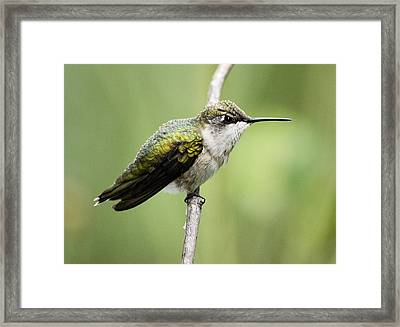 Hummingbird 3 Framed Print