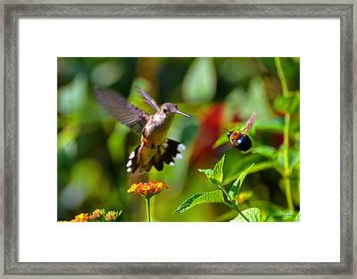 Hummingbird And A Bumblebee 001 Framed Print