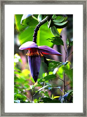 Hummingbird And Banana Tree Framed Print
