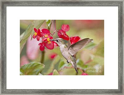 Hummingbird And Begonias Framed Print by Bonnie Barry