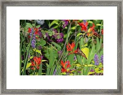 Hummingbird And Crocosmia Lucifer Framed Print