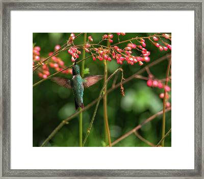 Hummingbird And Honeysuckle Framed Print