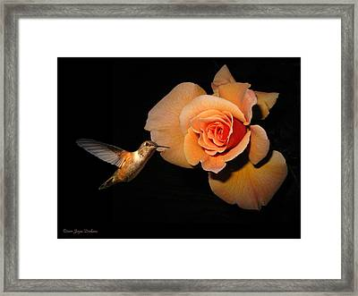 Hummingbird And Orange Rose Framed Print by Joyce Dickens