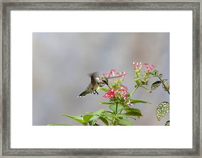 Framed Print featuring the photograph Hummingbird And Penta by Robert Camp