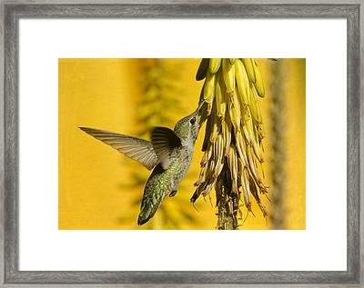 Hummingbird And The Aloe Blooms Framed Print by Saija  Lehtonen