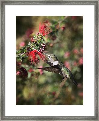 Hummingbird And The Red Feather Duster  Framed Print by Saija  Lehtonen