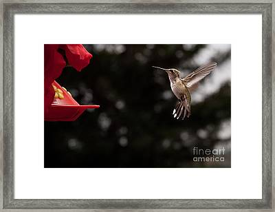 Hummingbird At Feeder Framed Print by Cindy Singleton