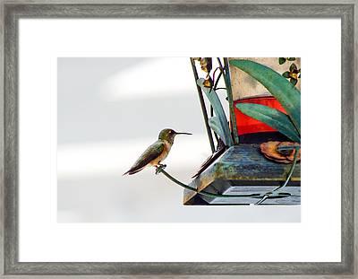 Hummingbird At Rest Framed Print by Adria Trail