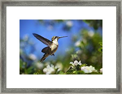 Hummingbird Beauty In Flight Framed Print